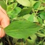 Quieres dejar de fumar? esta hierba destruye al instante tu deseo por la nicotina (y cómo cultivarla)