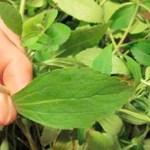 ¿Quieres dejar de fumar? Esta hierba destruye al instante tu deseo de nicotina (y cómo cultivarla)