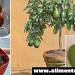 Deje de comprar aguacates, aquí está cómo usted puede crecer un árbol de Aguacate en una pequeña maceta
