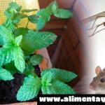 Con esta planta desaparecerán ratones, cucarachas y otros insectos de tu hogar