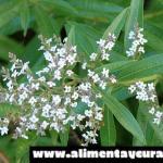 Hierba luisa, propiedades y usos en remedio caseros.