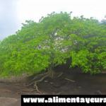 El árbol de la muerte…. El mas peligroso de la tierra. Mucho Cuidado!!!