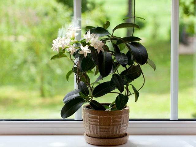 plantas-ayudan-dormir-jazmin
