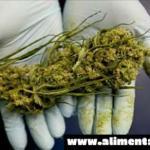 Gobierno de los Estados Unidos finalmente admite que la marihuana realmente elimina a las células cancerosas