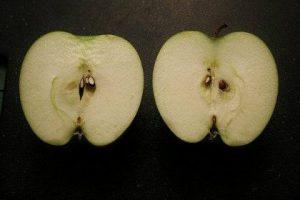 semillas-manzana