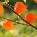 Usar hojas de ashwagandha para bajar de peso