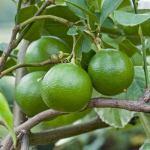 Citrus aurantium: Propiedades y beneficios para adelgazar