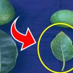 Hojas de aguacate cuales debes usar y como preparar el té para sacar el 100% de sus propiedades