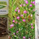 Beneficios de tomar Tlanchalagua (Planta medicinal)