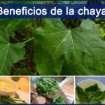 Chaya: Sus beneficios, propiedades medicinales y precauciones