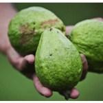 Después de que conozca los milagrosos beneficios de las hojas de guayaba para la salud, querrá consumirlas a diario