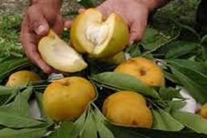 Imagen ilustrativa del artículo Propiedades del Zapote Blanco, planta medicinal