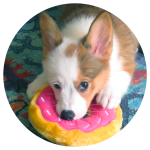 Pixel the Corgi