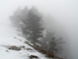 Pine-trees inside a cloud