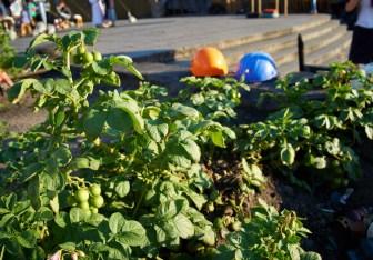 Potato growing at Maidan