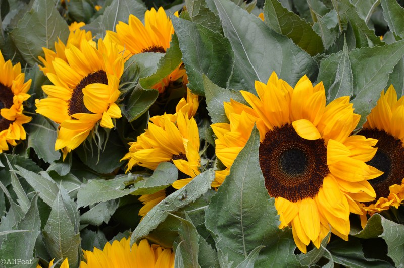 sunflowers-columbia-road