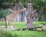 Giraffe-Animal Kingdom