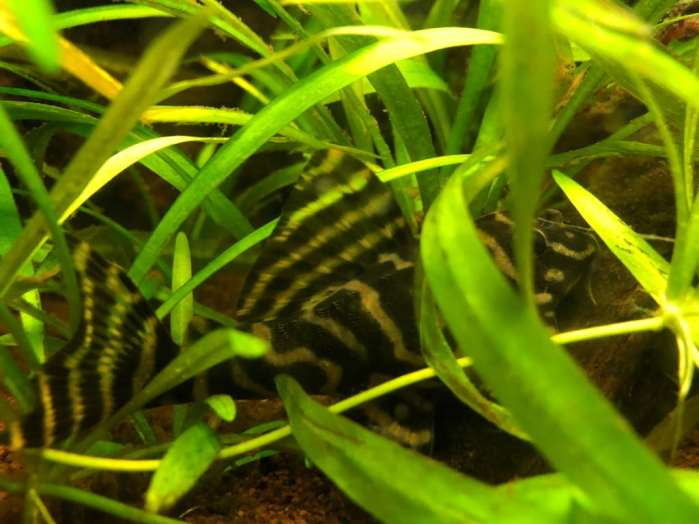 Side image of L270 pleco among plants.