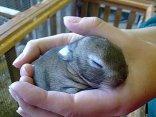 1.5 Week Old Rabbit