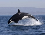 Orca (Killer Whale) - yes, technically, it's a large dolphin