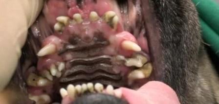 Overcrowded Pug Mouth