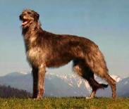 Scottish Deerhound [Open Source Google Image]