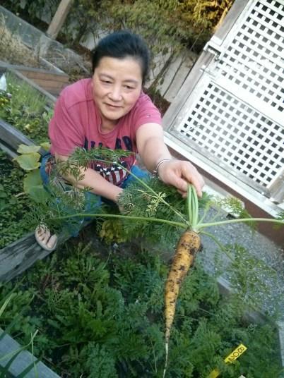 Harvesting carrots (August)