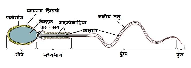 शुक्राणु की संरचना एवं प्रकार तथा वीर्य (Sperm and Semen)