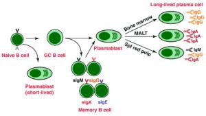 प्रतिरक्षा तंत्र की कोशिकाएं