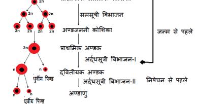 अंडजनन (Oogenesis in Hindi)