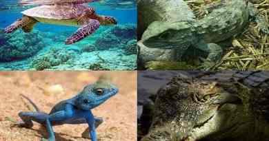 Class Reptilia Hindi