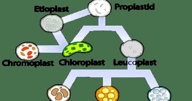 plastid leucoplast chromoplast chloroplast hindi.png