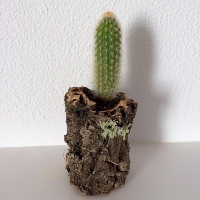 Cactus in cork planter