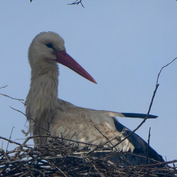 Nesting stork Castellar de la Frontera