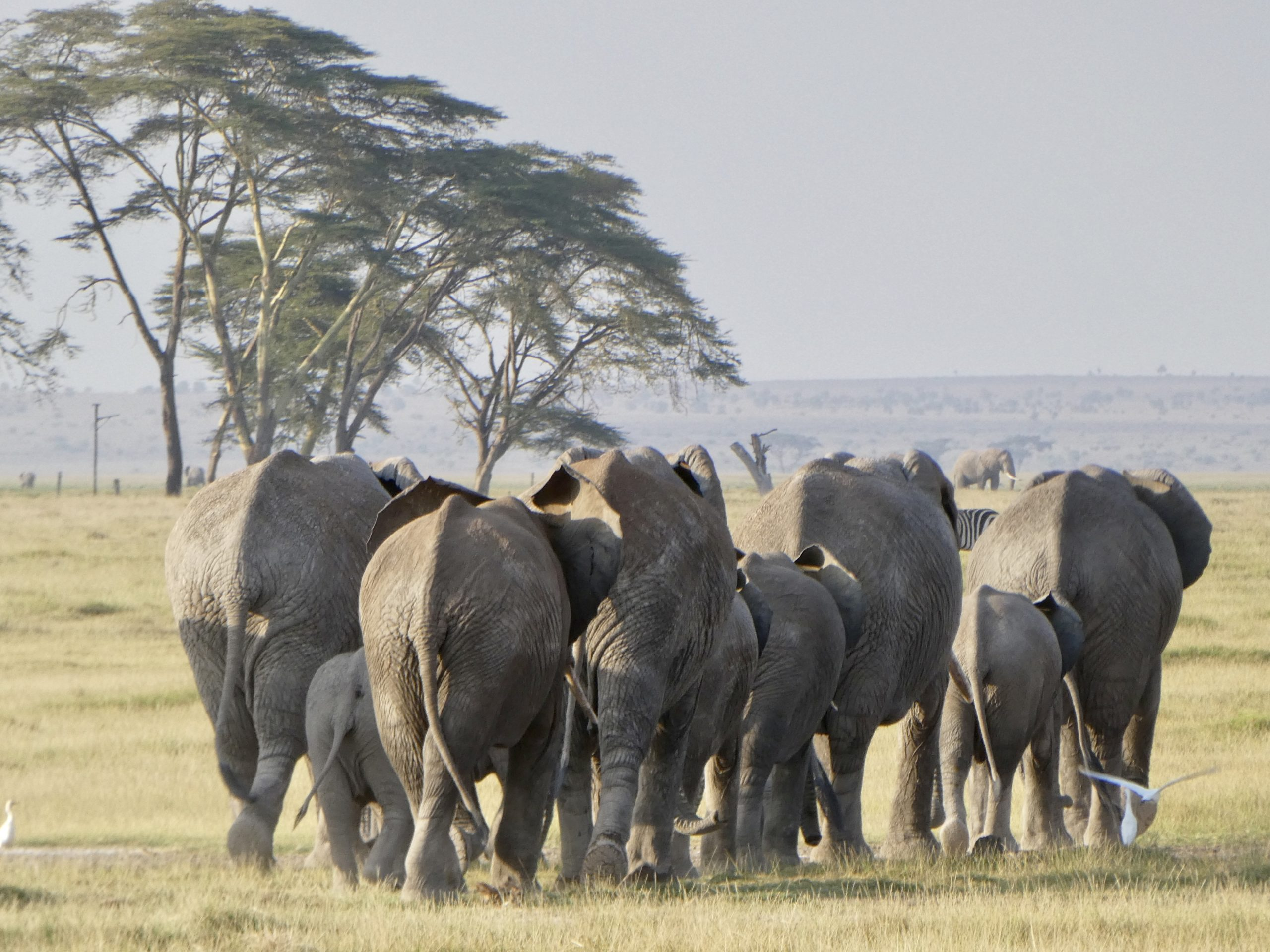 Elephants in Amboseli Kenya