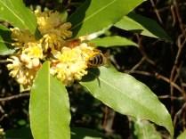 Sweet bay laurel leaves
