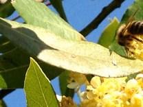 Nectar to honey-la miel de la garrigue