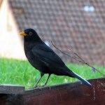Blackbird with white tail feathers