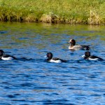 Tufted Ducks and Wigeon