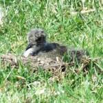 Lapwing Chick