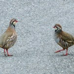 Red-legged Partirdges