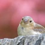 Juvenile Chaffinch