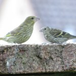 Juvenile Greenfinch and Siskin