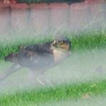 Juvenile Sparrowhawk