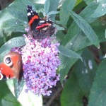 Red Admiral and Peacock