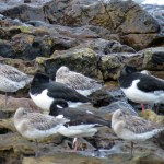 Oystercatchers and Godwits
