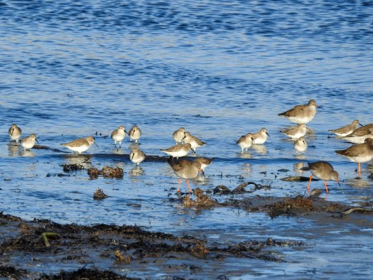 Dunlin and Redshank