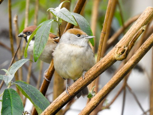 Female Blackcap and Tree Sparrow