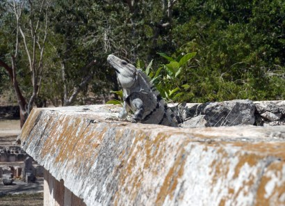 Local resident of Uxmal, what a poser!