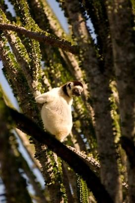 Dancing lemur in Ifotaka